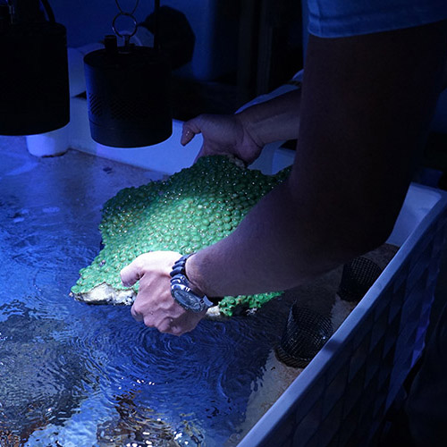 A Frost Science employee carefully handles a large green coral,