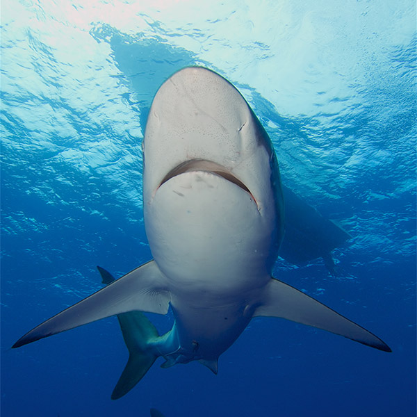 A silky shark exposes its underside while swimming near the surface.