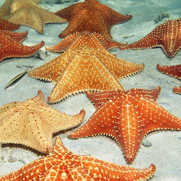 Bahama stars sit in clustered group on the ocean floor.