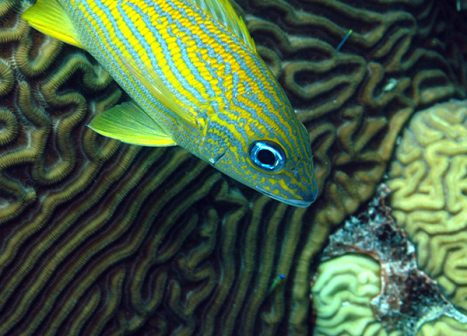 French grunt with brain coral, Bonaire.