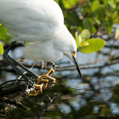 A Snowy Egret perches by the water on the roots of a mangrove.