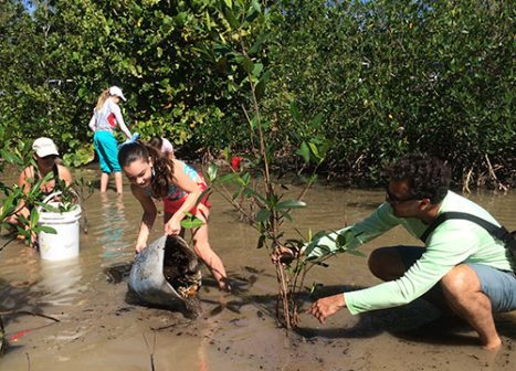 Volunteers plant mangrove propagules in ankle-deep water.