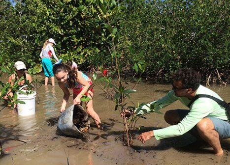 Volunteers plant mangrove propagules in ankle-deep water.