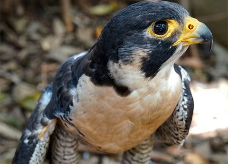 A bird being rehabilitated at the Batchelor Environmental Center sits perched on a log.