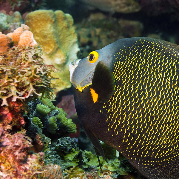 A French Angelfish swims alongside corals.