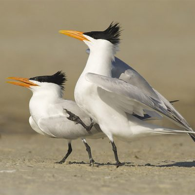 Royal Tern, Sterna maxima, on beach with pre-mating dance or display