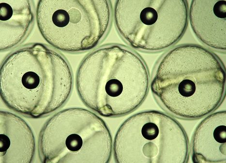 Developing marine fish eggs