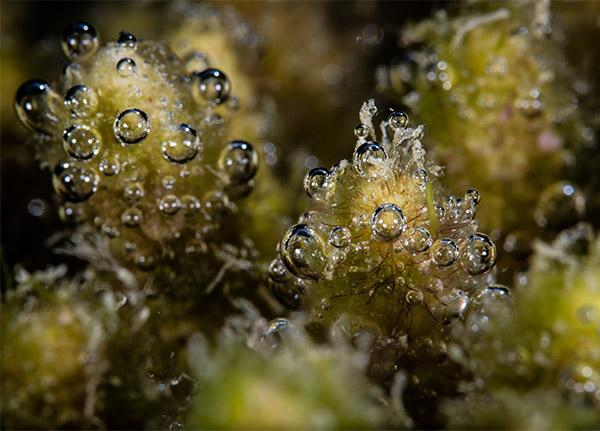 Small bubbles appear over underwater algae.