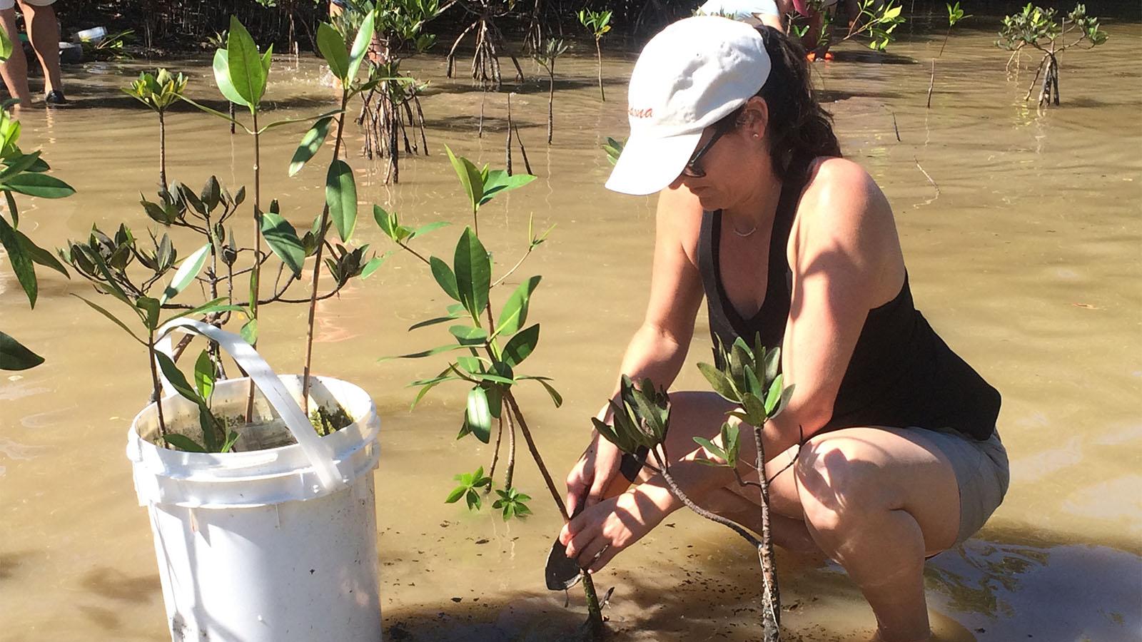 A volunteer plants juvenile mangroves in ankle deep water.