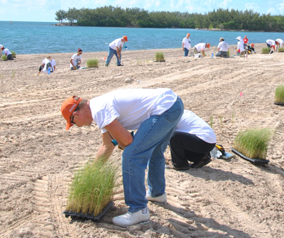 Volunteers plant sea oat plugs on a newly cleared dune.