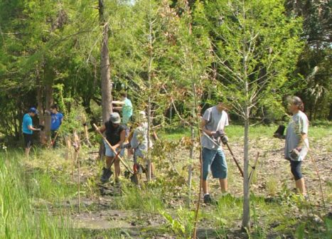 A group of volunteers uses shovels to plant native hammock trees.