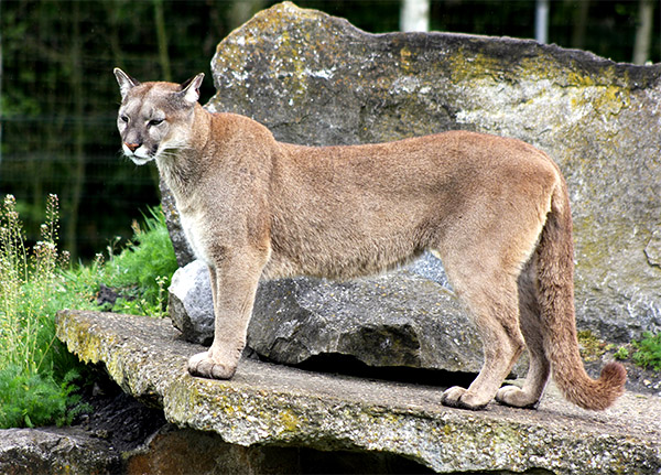 A golden Florida Panther stands posed on a large boulder.
