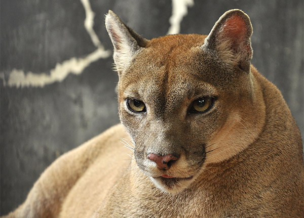 A close-up of the face of a Florida Panther with piercing golden eyes.