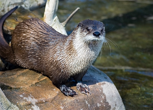 A furry brown River Otter perches on a rock by the water.