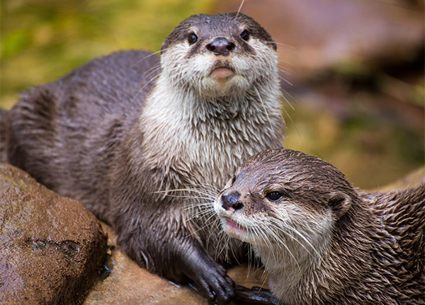 Two River Otters pose together, damp from the water.