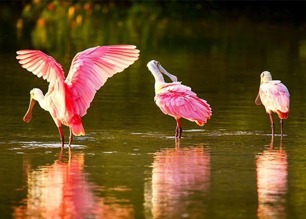 Three bright pink Roseate Spoonbills wade in the water.