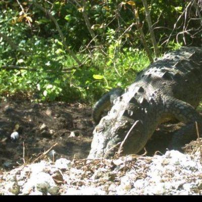 An American crocodile examining her nest at the Crocodile Lake National Wildlife Refuge near Key Largo. Photo Credit: US Fish & Wildlife Service