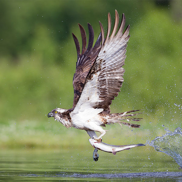 An osprey flies close to the water using its talons to catch a fish.