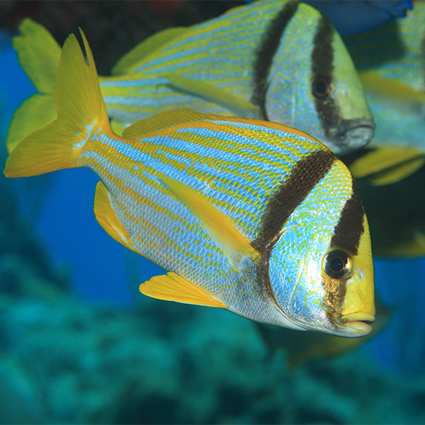 A porkfish, with yellow and blue horizontal stripes and two black vertical stripes on its face, swims with other porkfish.