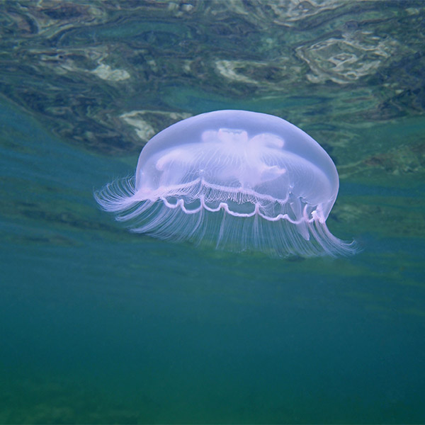 A moon jellyfish glows light purple as light from the surface illuminates it.