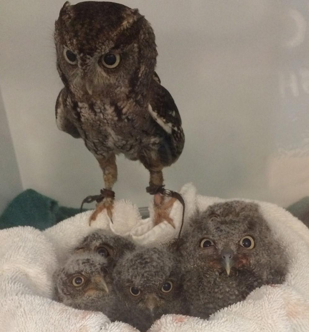 Eastern screech owls.