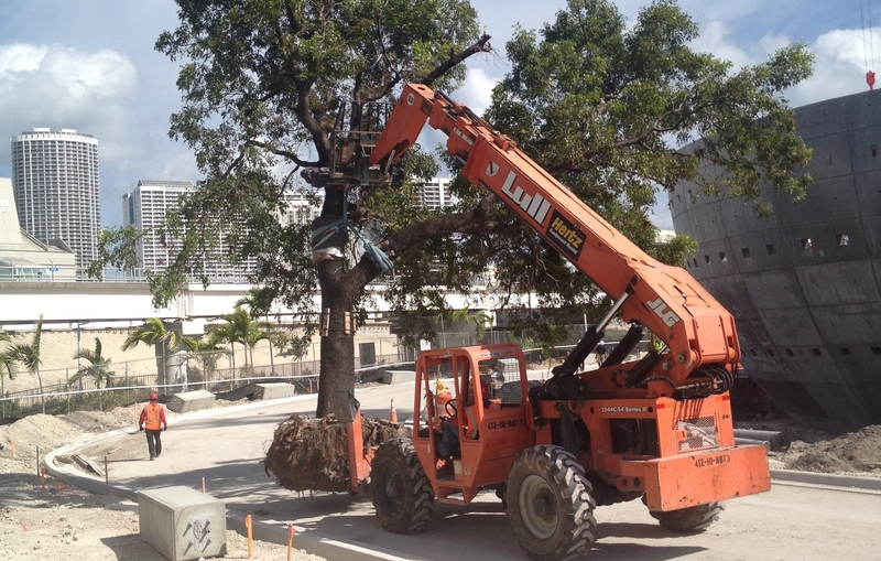 Moving a tree along our newly-installed Museum Drive
