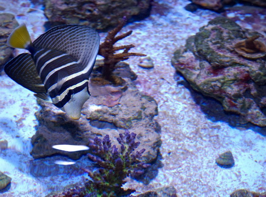 Fish, such as this sailfin tang, graze on algae that grow around the coral.