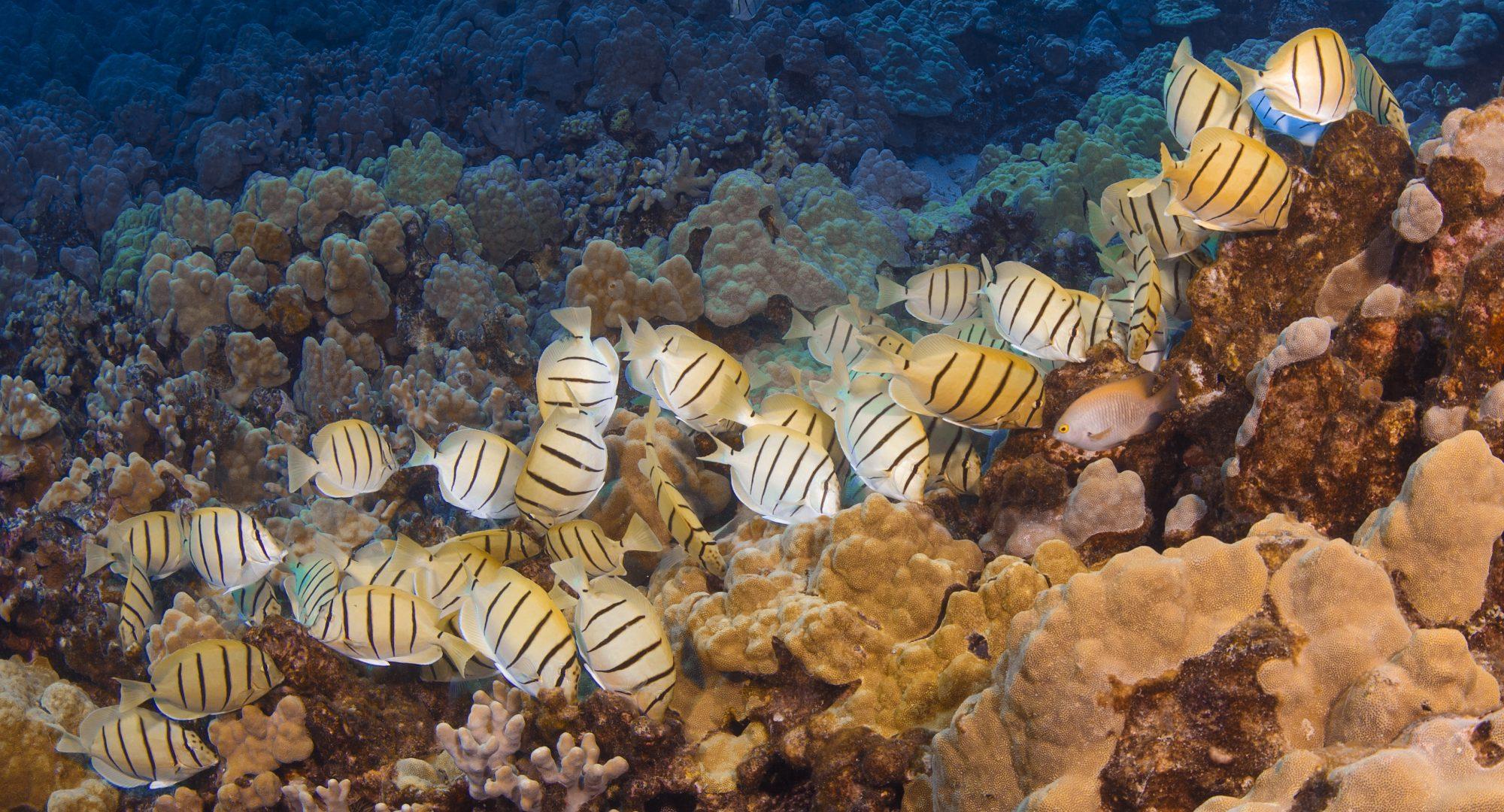 School of Convict Tang on a Hawaiian Reef