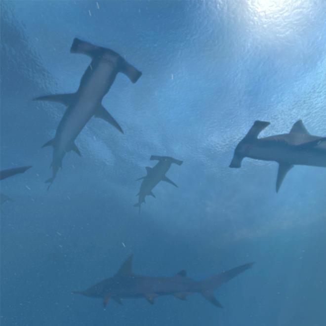 Multiple hammerhead sharks'