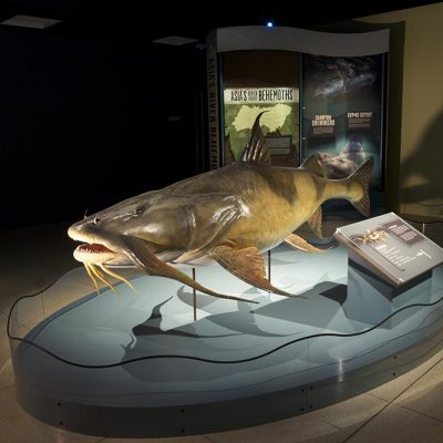 Life-size model of Goonch Catfish