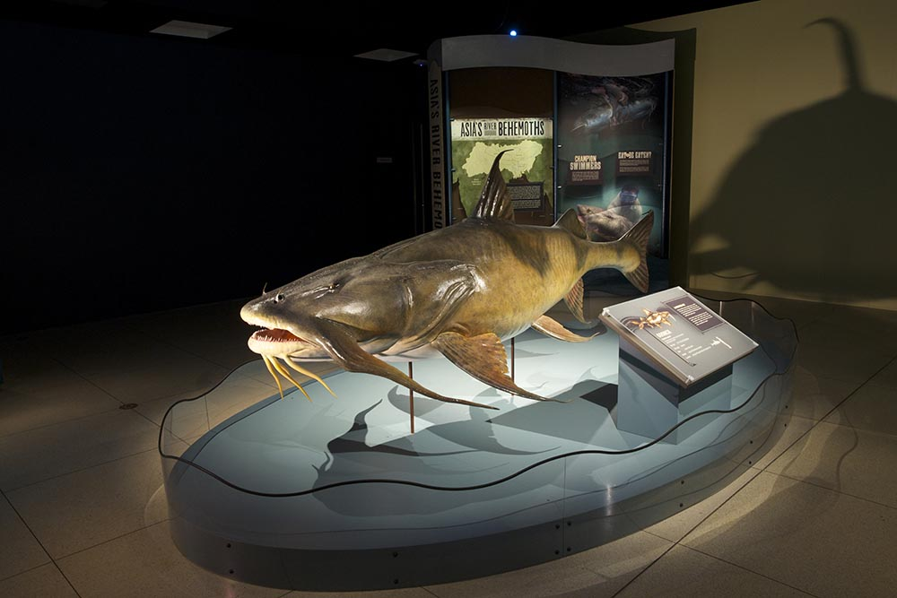Life-size model of Goonch Catfish