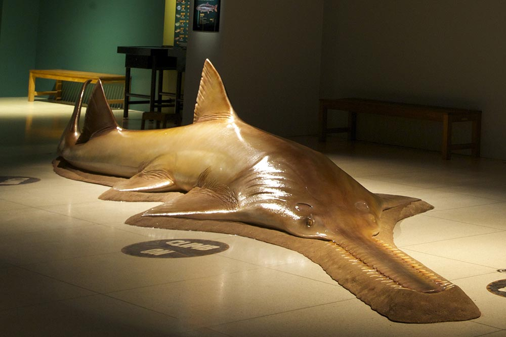 Life-size model of fresh water sawfish.
