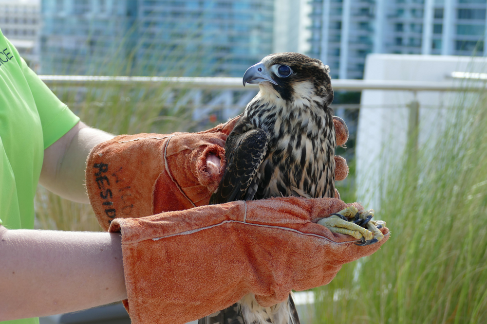 Falcon about to be released