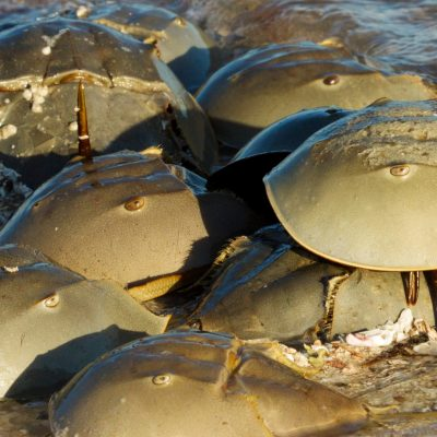 horseshoe crabs