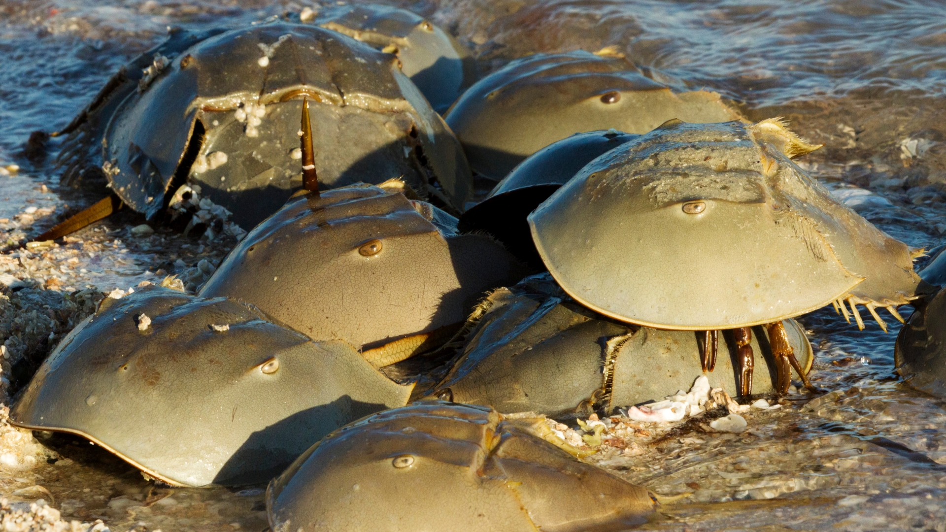 418aa29b0 See a Horseshoe Crab? Help It Out! - Frost Science