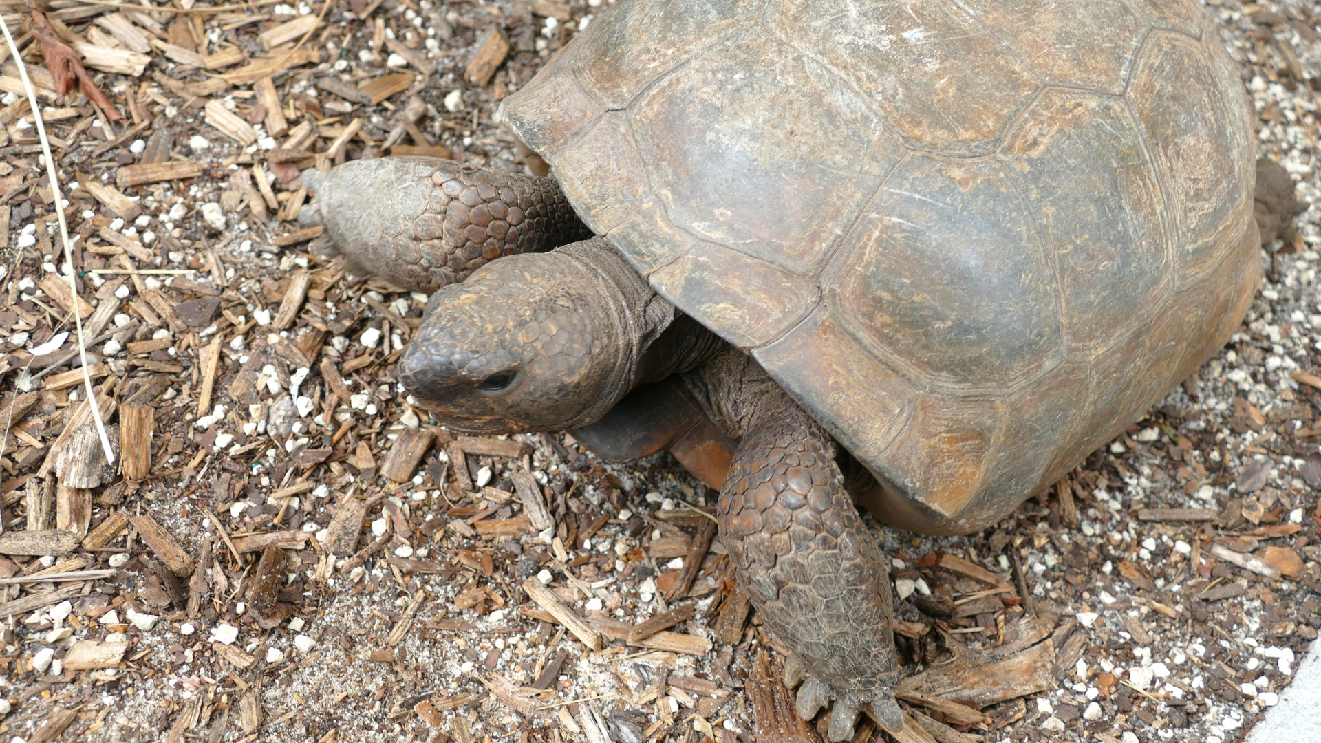 Frost Science's resident gopher tortoise