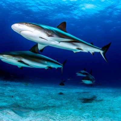 sharks - zach ransom photography