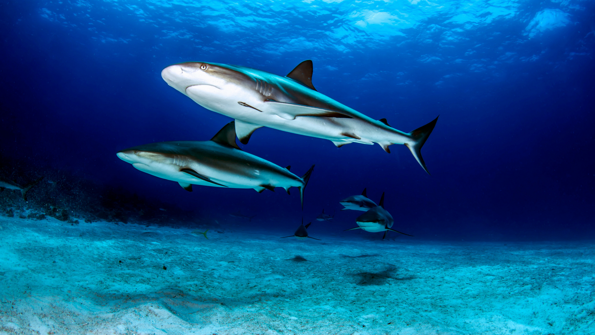 sharks - zach ransom photography