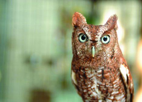 photo of burrowing owl.