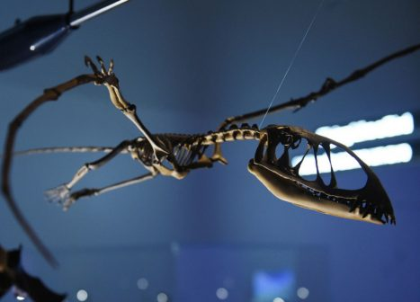 Skeleton of prehistoric flying reptile.