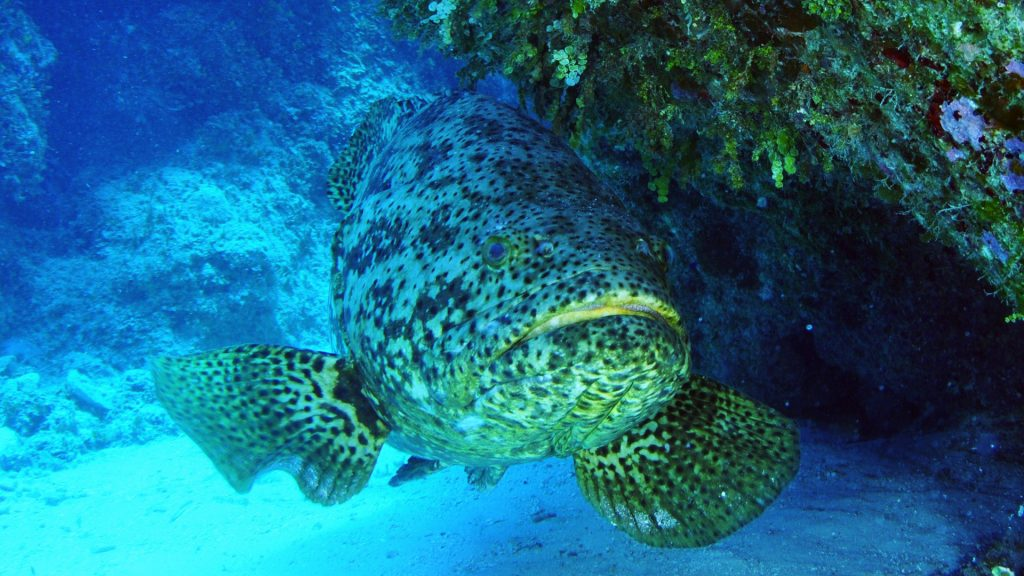 Goliath grouper photo