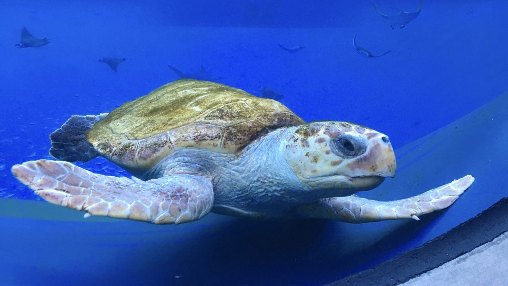 Photo of Miko the Sea Turtle