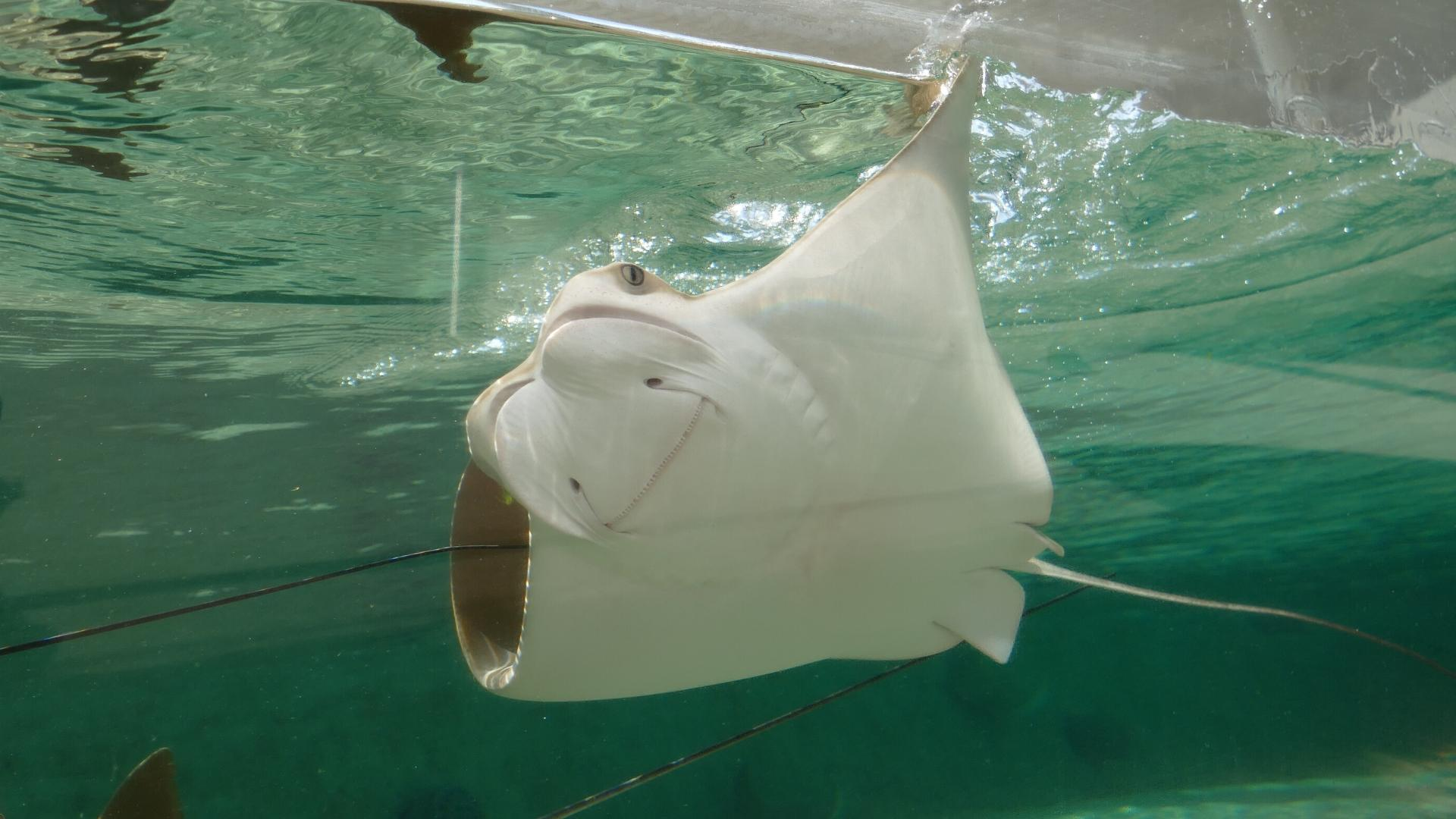 cownose ray swimming
