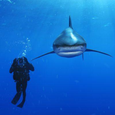 Diver and oceanic whitetip shark near Cat Island, Bahamas.