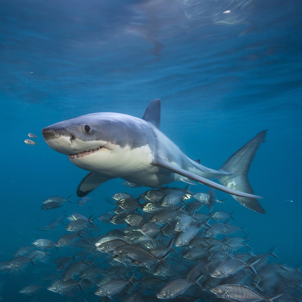 Photo of a large shark off Australia with a school of siver jacks.