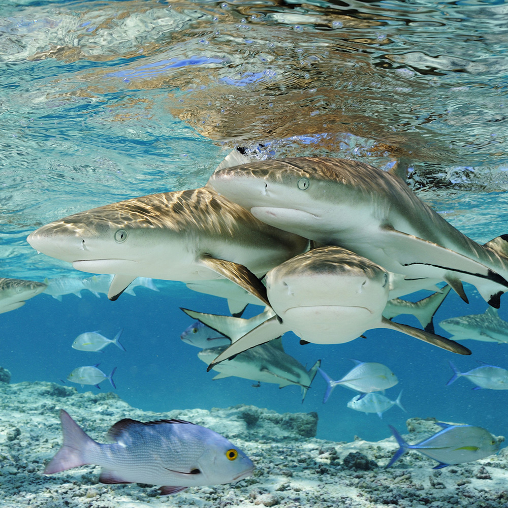 Group of three blacktip reef sharks.