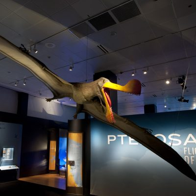 Life-size model of pterosaur model suspended from ceiling.