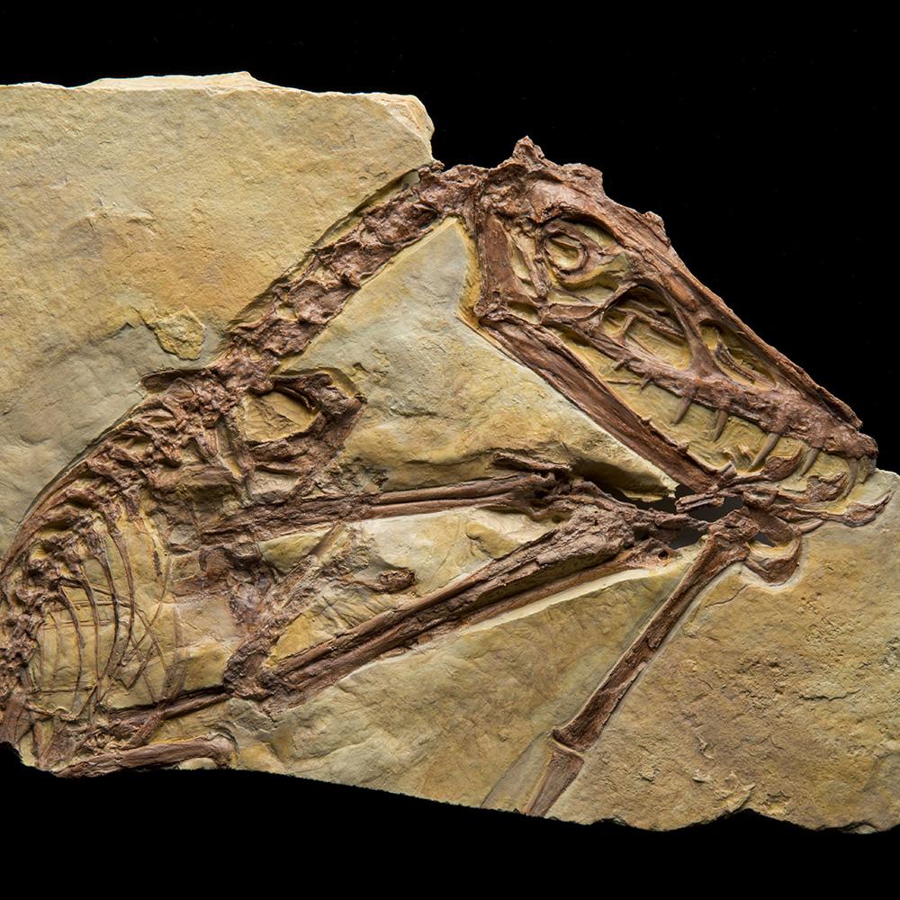 Pterosaur scaphognathus fossil