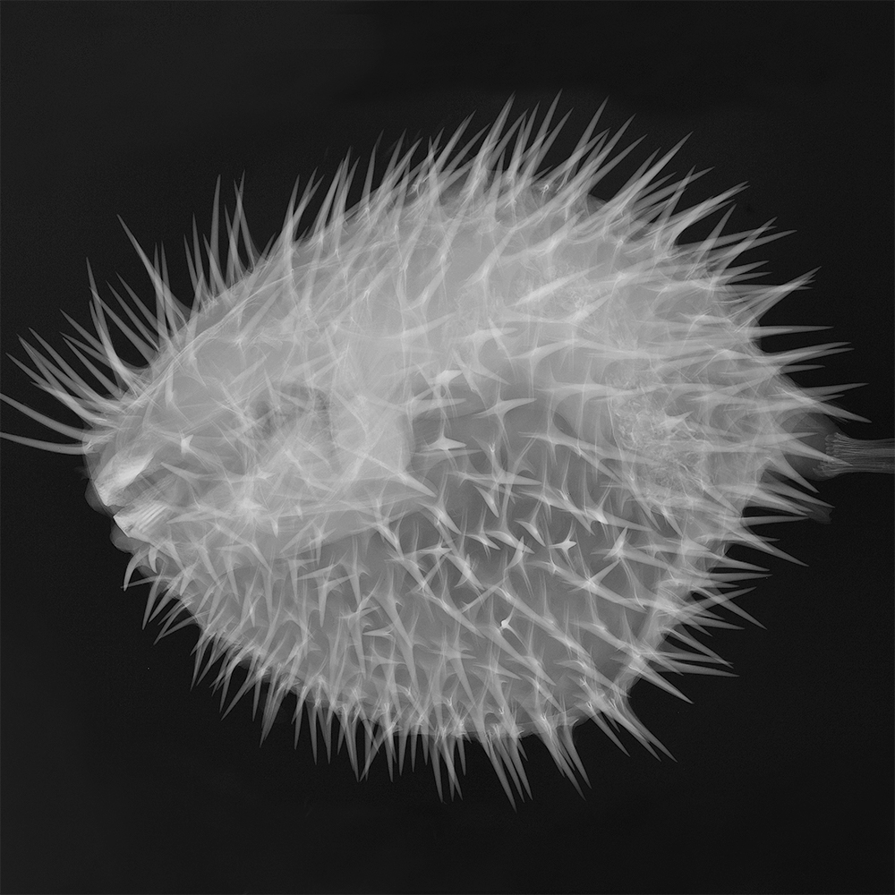 X-ray image of Long-spine porcupine fish (Diodon holocanthus)