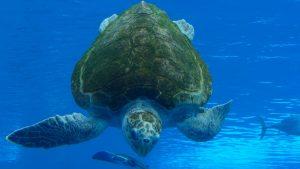 Sea turtle swimming down